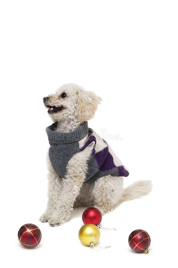 Leuk weinig witte poedel in hondkleren met Kerstmisballen royalty-vrije stock afbeelding