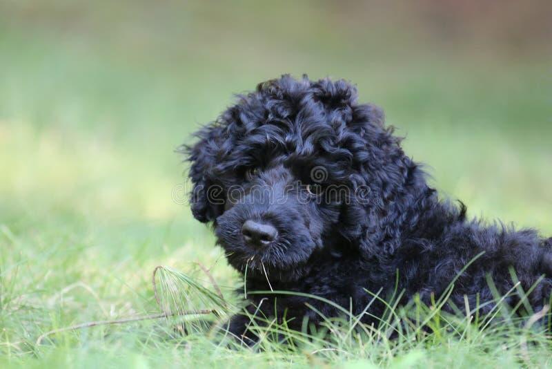 Leuk weinig zwart puppy stock foto's