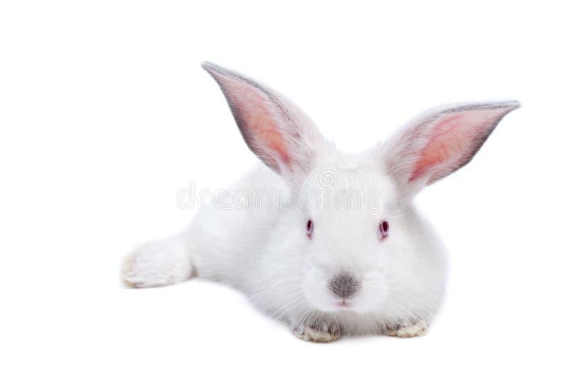 Leuk wit geïsoleerd babykonijn stock foto