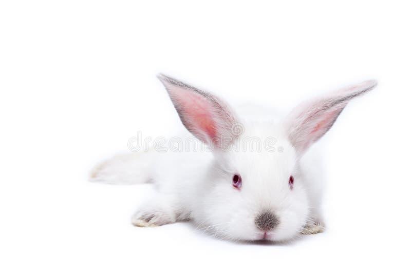 Leuk wit geïsoleerd babykonijn royalty-vrije stock fotografie