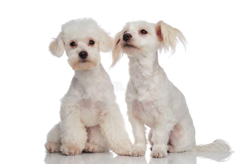 Leuk wit gezet puppy bichon paar royalty-vrije stock afbeelding