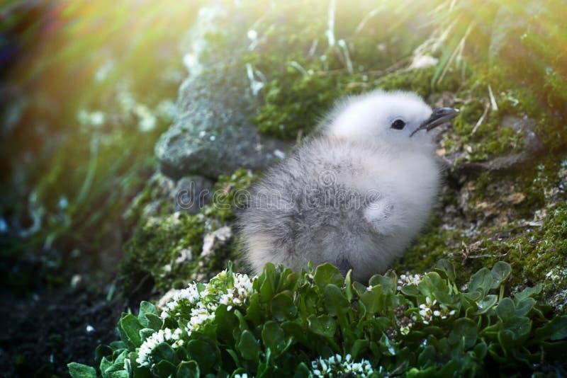 Leuk wit pluizig kuiken van het koude Noordpoolgebied Drieteenmeeuw stock fotografie