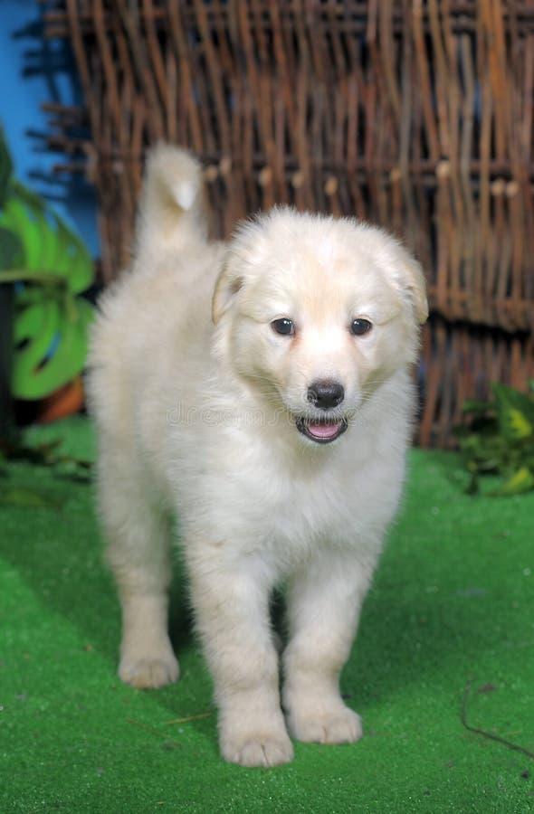 Leuk wit puppy royalty-vrije stock fotografie