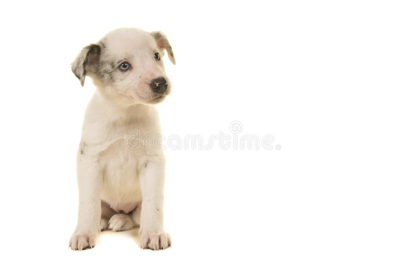 Leuk wit puppy met het blauwe ogen zitten die aan het recht kijken dat op een witte achtergrond wordt geïsoleerd stock foto