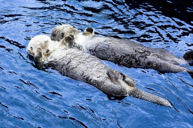 Leuk zie otter stock foto's