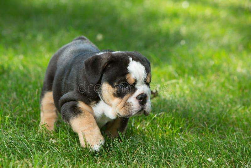 Leuk zwart en bruin gerimpeld buldogpuppy in het en gras die, die zich net bevinden onder ogen zien stock fotografie