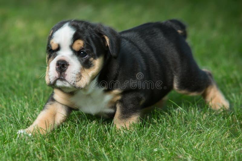 Leuk zwart en bruin gerimpeld buldogpuppy in het en gras die, die zich net bevinden onder ogen zien stock foto's