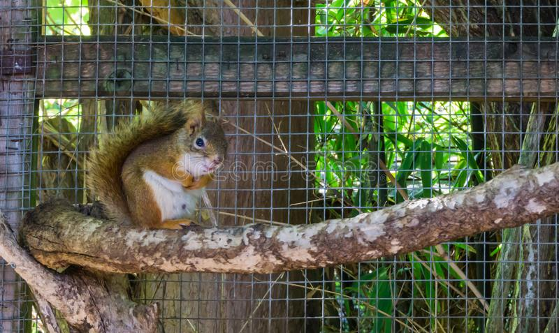 Leuke aanbiddelijke bruine rode gemeenschappelijke eekhoornzitting op een dierlijk huisdier van het takknaagdier royalty-vrije stock foto's