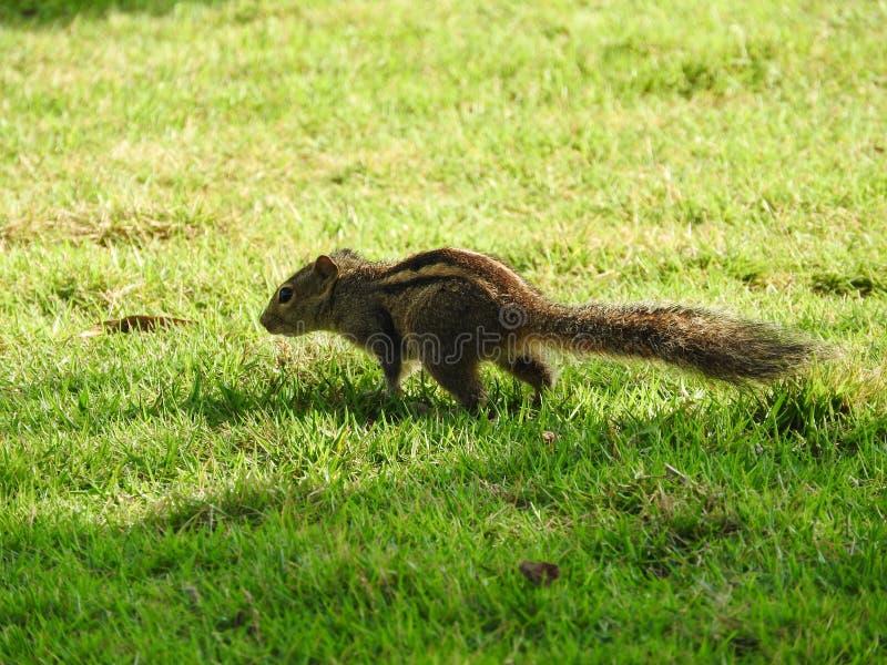 Leuke Aardeekhoorn op groen gras in Sri Lanka stock afbeeldingen