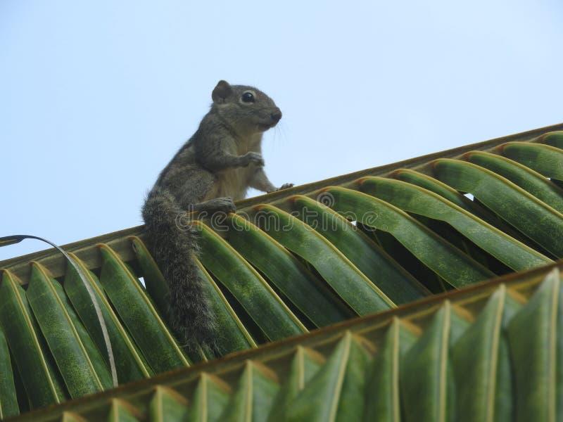 Leuke Aardeekhoorn op groen gras in Sri Lanka stock foto