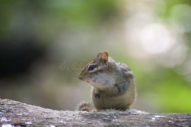 Leuke aardeekhoorn op logboek het eten stock afbeelding