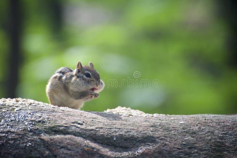 Leuke aardeekhoorn op logboek het eten stock fotografie