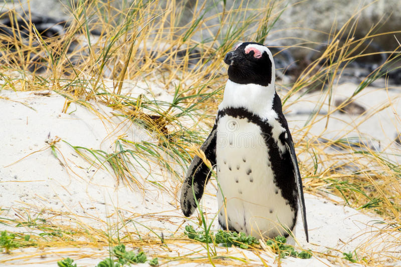 Leuke Afrikaanse pinguïnslaap stock afbeelding