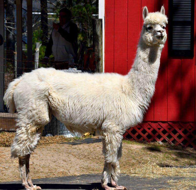 Leuke Alpaca bij Landbouwbedrijf stock fotografie