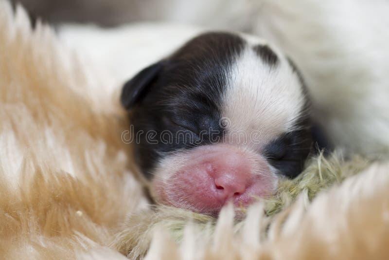 Leuke babby het puppyhond van shihtzu stock afbeelding