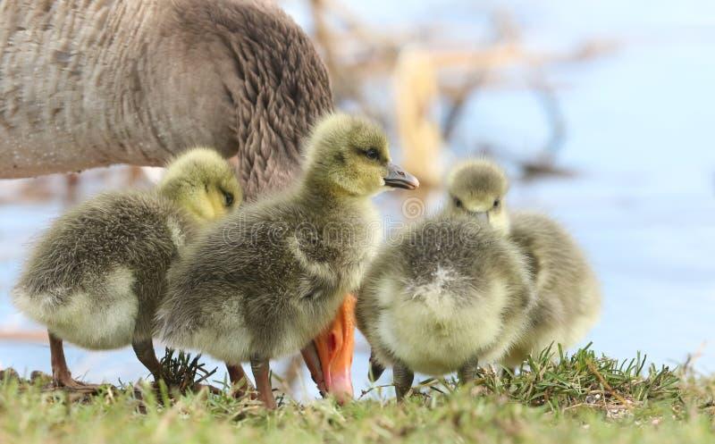 Leuke babygreylag Gansgansjes Anser die anser zich op de bank van een meer bevinden die gras eten royalty-vrije stock foto