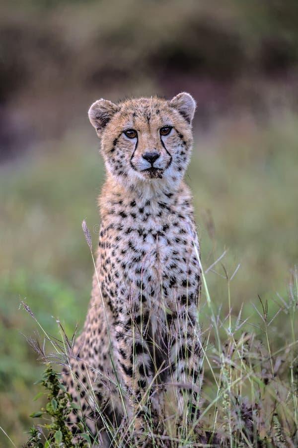 Leuke Babyjachtluipaard in het Nationale Park van Kruger royalty-vrije stock foto