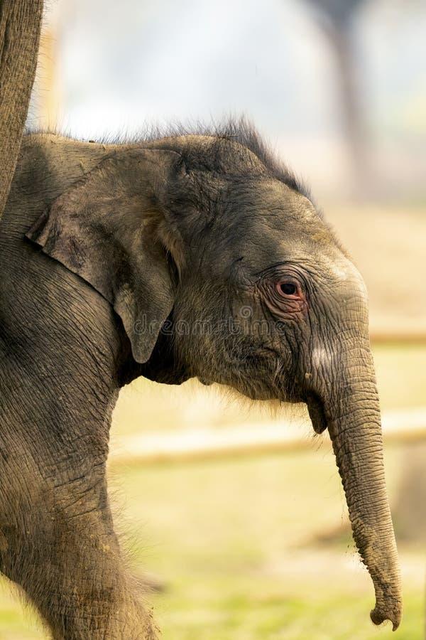 Leuke Babyolifant in chitwan Nationaal park royalty-vrije stock fotografie