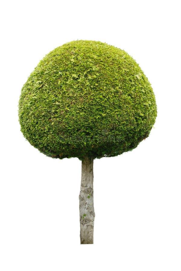 Leuke bal gevormde die boom op witte achtergrond wordt geïsoleerd stock afbeelding