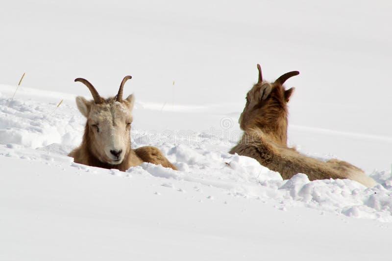 Leuke Bighornschapen in de Sneeuw royalty-vrije stock foto's