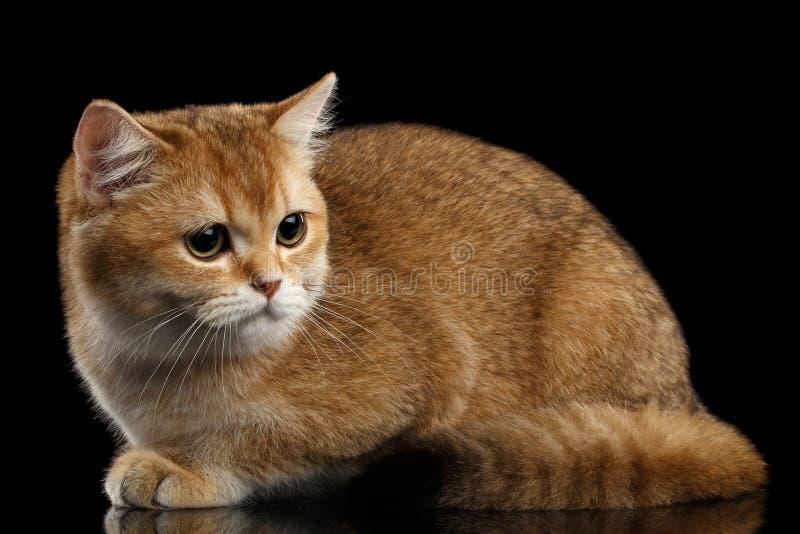 Leuke Britse Cat Gold Chinchilla Lying, kijkt droevig, Geïsoleerde Zwarte royalty-vrije stock foto's