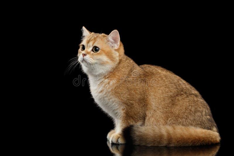 Leuke Britse Cat Gold Chinchilla Sitting, kijkt droevig, Geïsoleerde Zwarte royalty-vrije stock afbeeldingen