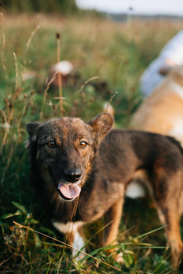 Leuke bruine hond die met aanbiddelijke ogen kijken en in zonnige weide in bergen bij zonsondergang lopen Het reizen samen met hu royalty-vrije stock afbeelding