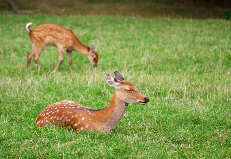 Leuke bruine kuitendeers ontspannen in het gras royalty-vrije stock afbeelding
