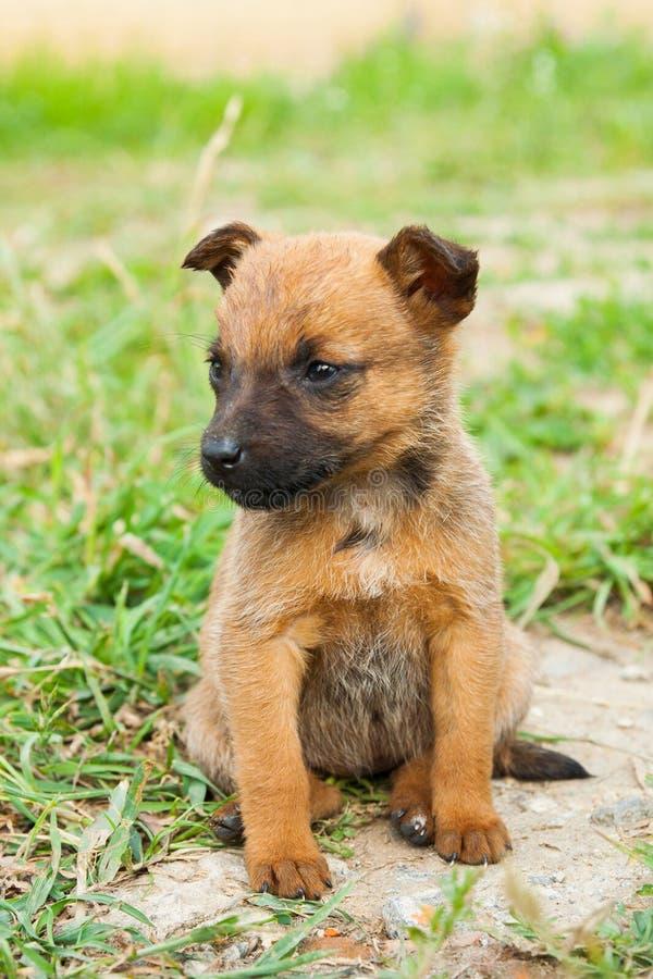Leuke bruine puppyzitting in gras, in openlucht op een zonnige dag royalty-vrije stock foto's