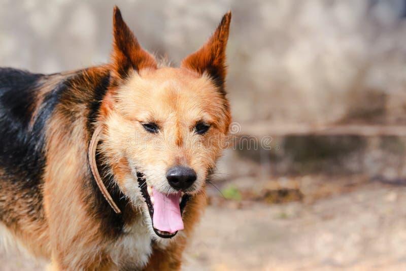 Leuke bruine straathond met tong uit en gesloten ogen, geeuw Vage achtergrond met exemplaarruimte royalty-vrije stock afbeelding