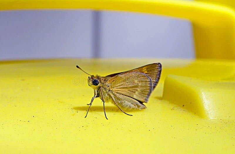 Leuke, bruine vlinderzitting op helder geel tuinhulpmiddel stock foto