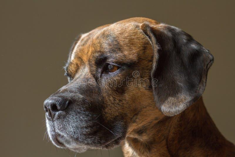 Leuke Brutale Hond die linker van Camera kijken stock afbeelding