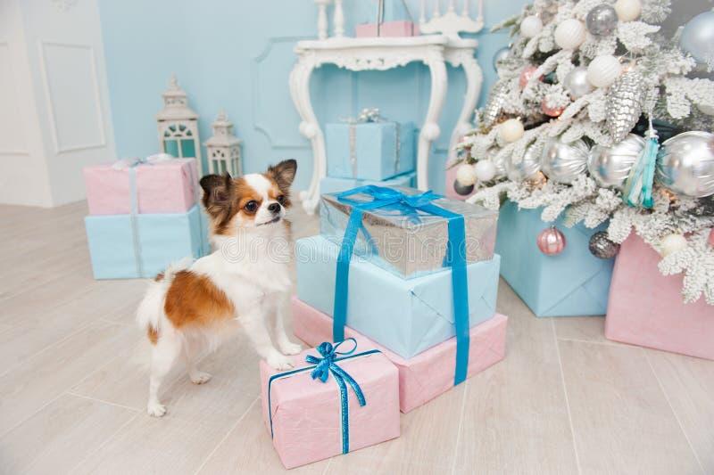 Leuke chihuahua die van de huisdierenhond zich op doos met giften in Kerstmis D bevinden stock afbeelding