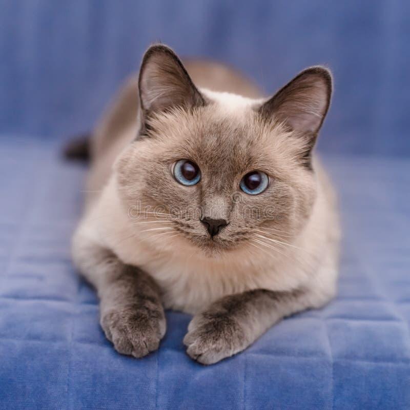 Leuke colorpoint blauw-eyed kat die en camera liggen bekijken stock foto