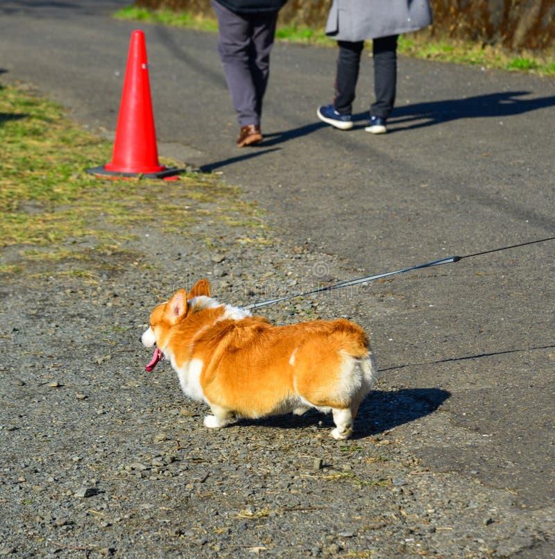 Leuke Corgi-hond bij het park stock afbeeldingen