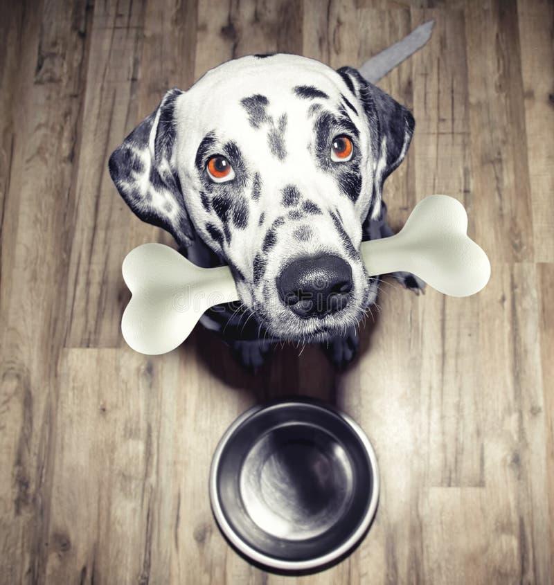 Leuke Dalmatische hond met een smakelijk been in zijn mond royalty-vrije stock afbeeldingen
