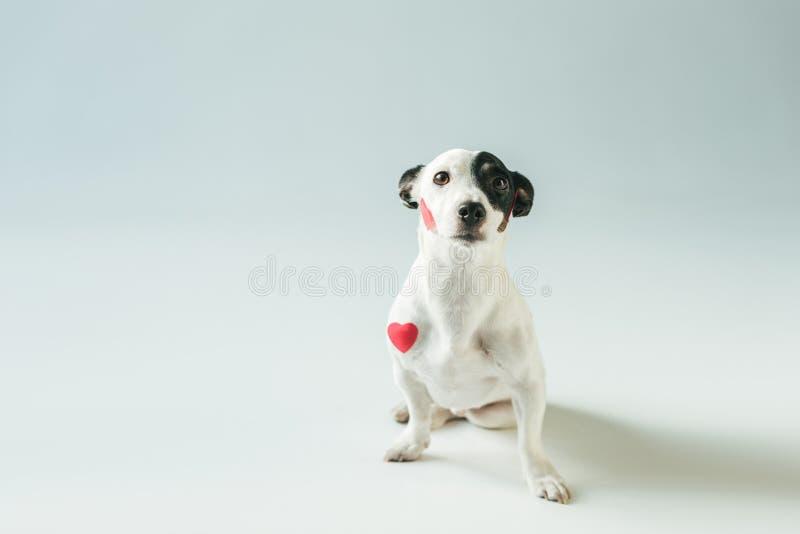 leuke de terriërhond van hefboomrussell in rode harten, stock fotografie