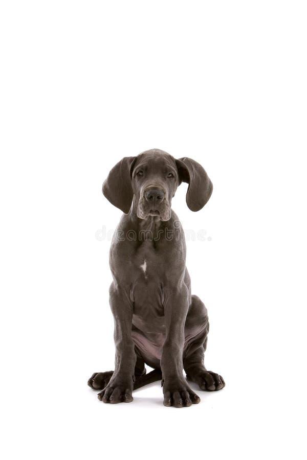 Leuke Deense hond royalty-vrije stock fotografie