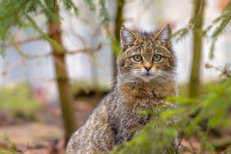 Leuke dichte omhooggaand van Europese wilde kat royalty-vrije stock foto