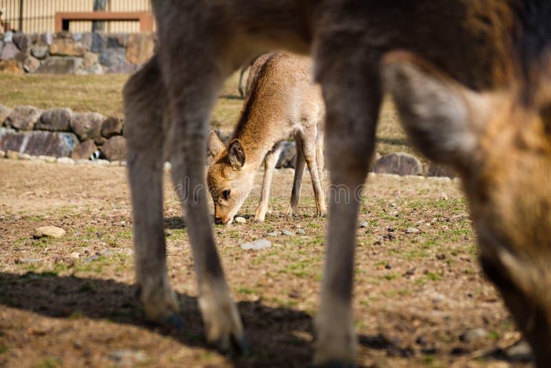 Leuke die babyherten van Nara Japan tussen de liefdeconcept van moederbenen wordt ontworpen stock afbeeldingen