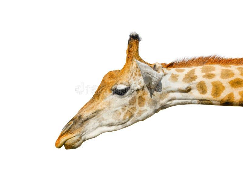 Leuke die giraf op witte achtergrond wordt geïsoleerd Grappig geïsoleerd girafhoofd De giraf is langste en grootste het leven die stock afbeeldingen