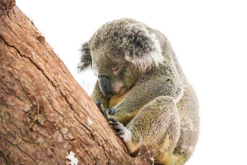 Leuke die koala op witte achtergrond wordt ge?soleerd stock afbeeldingen