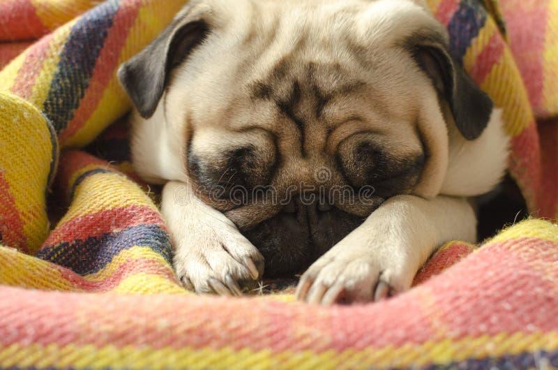 Leuke die pug van het hondras slaap in plaid wordt verpakt stock afbeeldingen