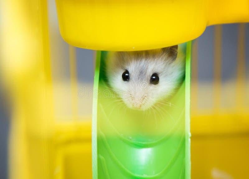 Leuke Djungarian-hamster in een kooi stock foto's