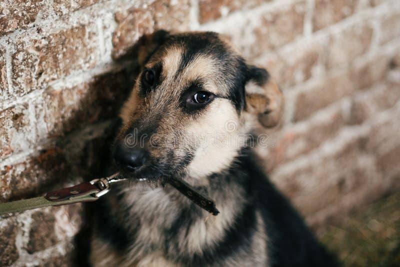 Leuke doen schrikken hond die van kooi in oude schuilplaats kijken, die op goed te keuren iemand wachten Weinig Duits herderspupp stock fotografie