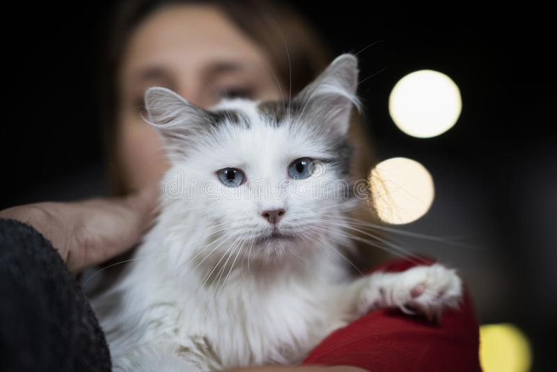 Leuke doen schrikken kat met mooie en intelligente blauwe ogen in vriendelijke handen van een meisjes vrijwilligerswachten voor h stock foto
