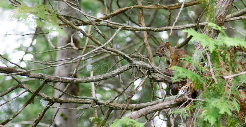 Leuke Eekhoorn royalty-vrije stock fotografie