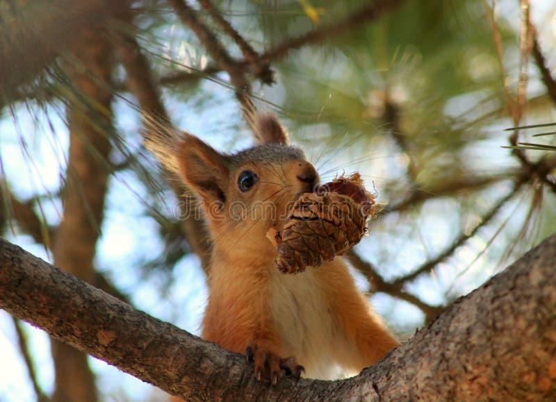 Leuke eekhoorn die een kegel op de boom eten royalty-vrije stock afbeelding