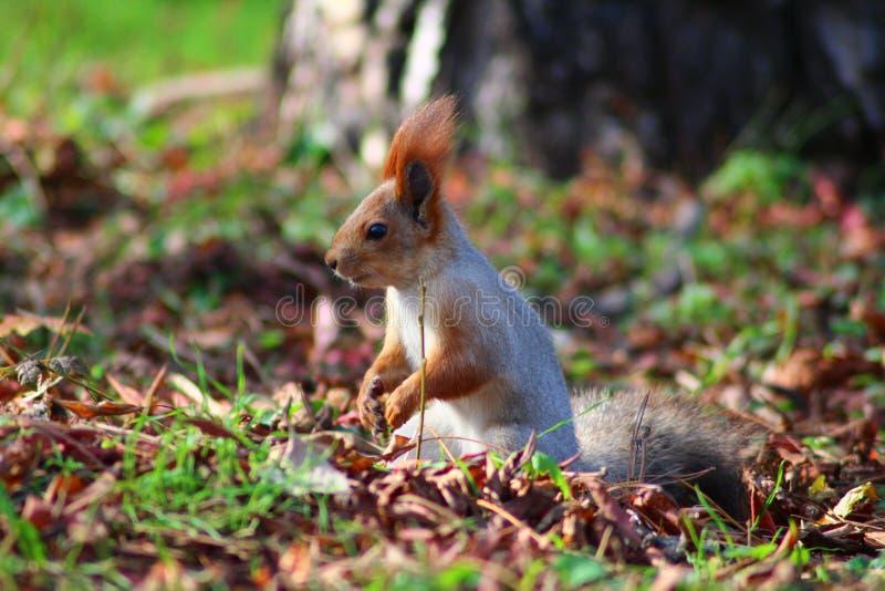 Leuke eekhoorn in het de herfstpark royalty-vrije stock afbeelding