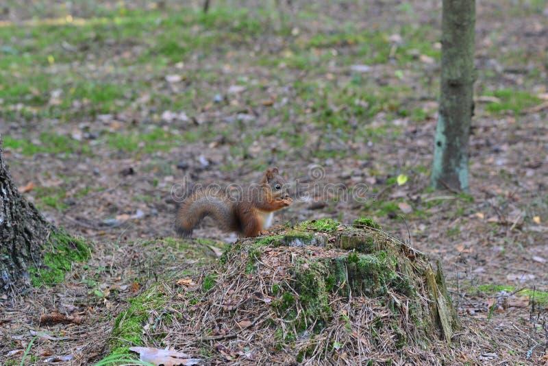 Leuke eekhoorn in park het eten royalty-vrije stock afbeelding